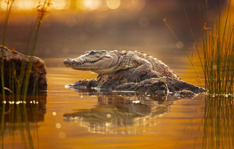 Фото обои крокодил, crocodile, Milan Zygmunt