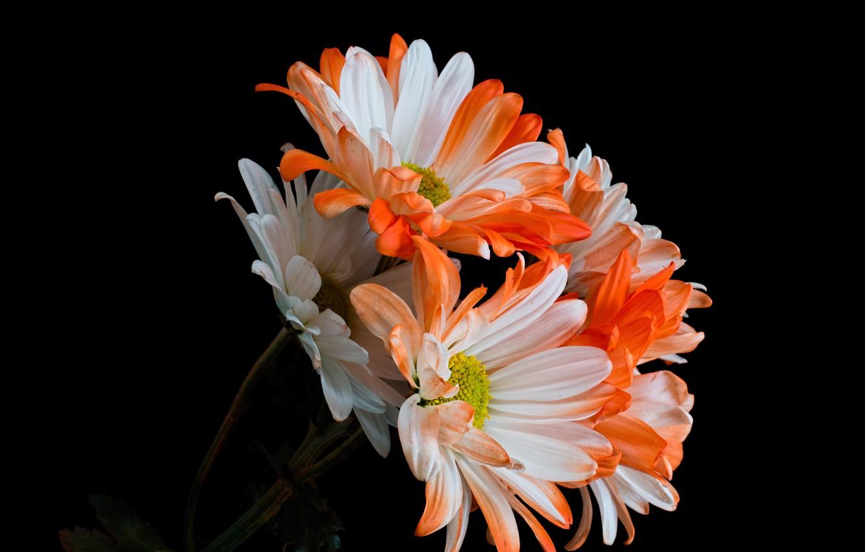 Фото обои цветы, чёрный фон, хризантемы