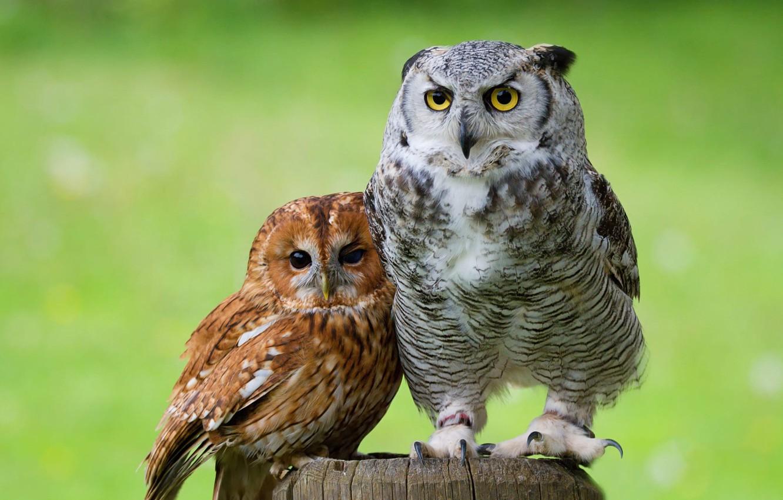 Фото обои глаза, взгляд, птицы, зеленый, фон, сова, птица, вместе, две, пень, портрет, пара, совы, парочка, дуэт, …