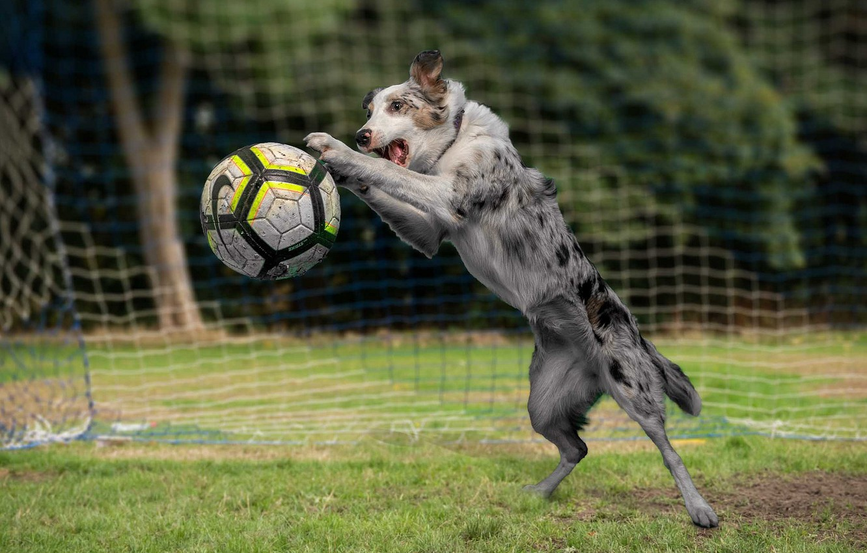 Фото обои футбол, игра, мяч, собака