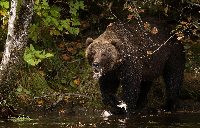 Фото обои осень, трава, взгляд, морда, берег, медведь, водоем, бурый