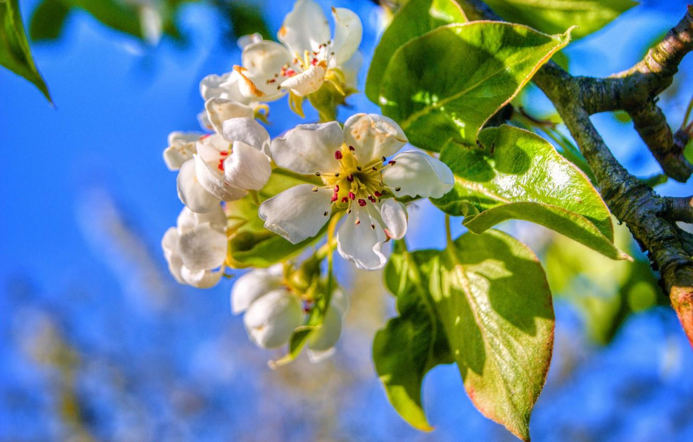Фото обои листья, ветка, весна, груша, цветение, цветки