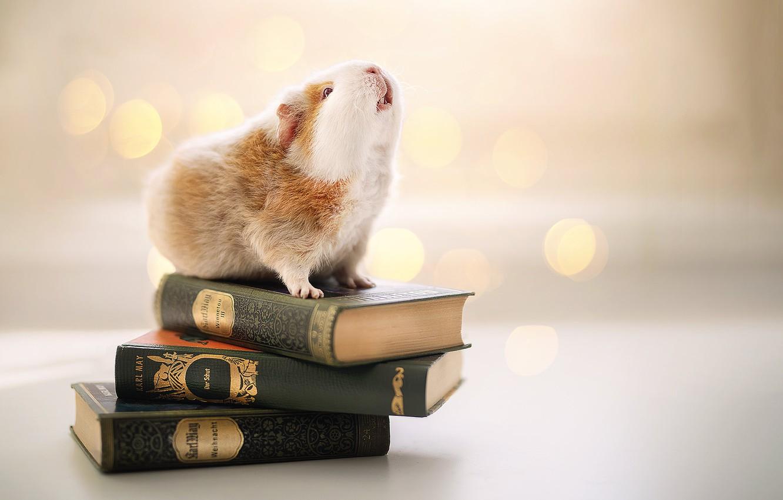 Фото обои фон, книги, морская свинка, грызун