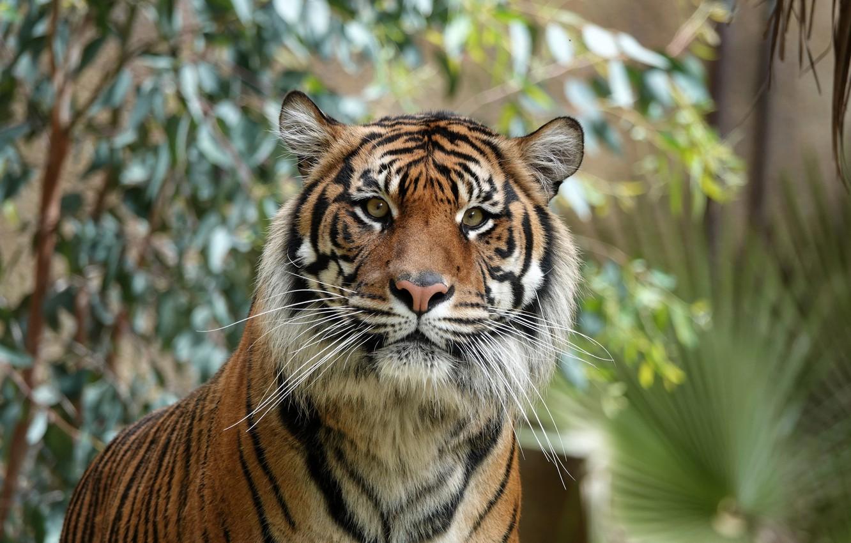 Фото обои взгляд, морда, фон, Тигр