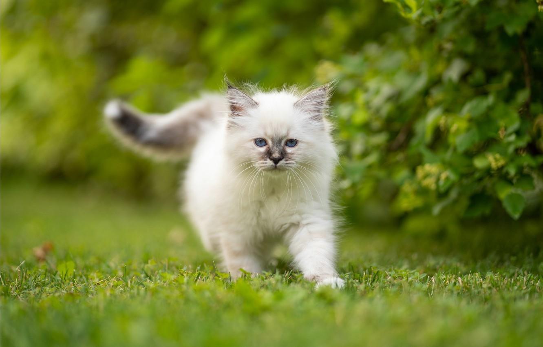 Обои котёнок, прогулка, пушистый. Кошки foto 6