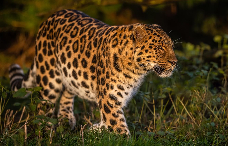 Фото обои трава, леопард, дикая кошка