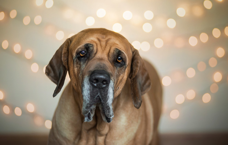 Фото обои друг, собака, Brazilian Mastiff