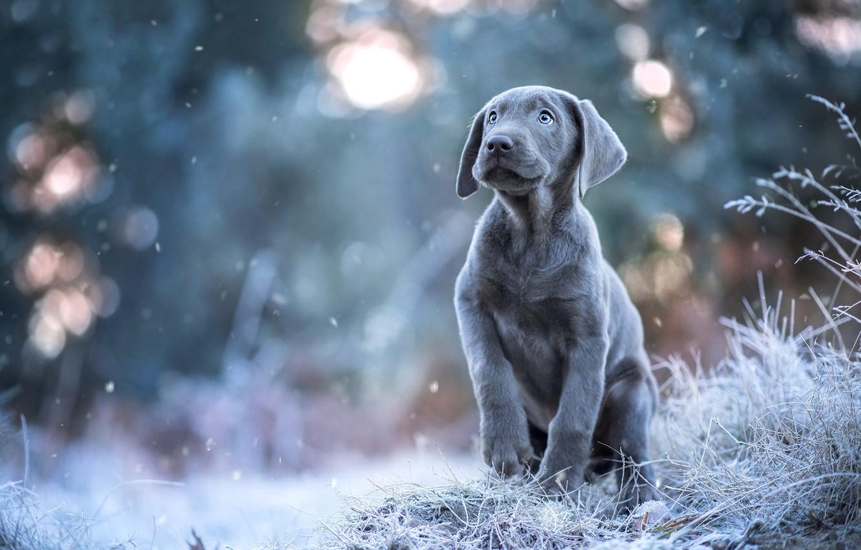 Фото обои зима, иней, взгляд, снег, поза, серый, собака, щенок, снегопад, боке, веймаранер