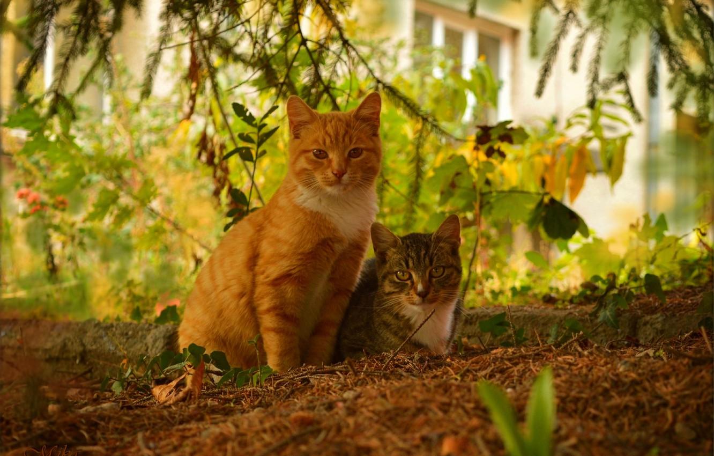 Фото обои Кошки, Cats, Рыжая кошка