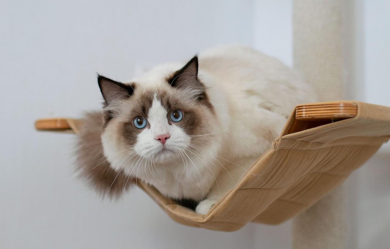 Фото обои кошка, взгляд, мордочка, гамак, голубые глаза, Рэгдолл, Юрий Коротун