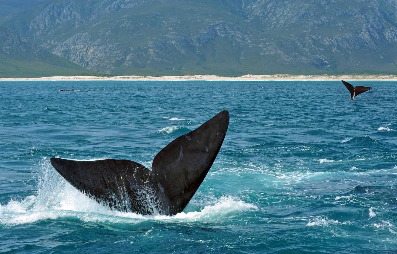 Фото обои море, животное, хвост, южный гладкий кит