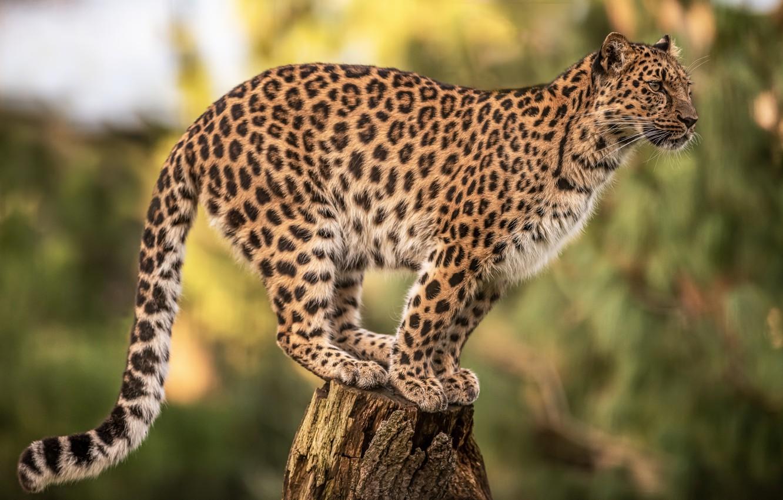 Фото обои фон, пень, леопард, дикая кошка, боке