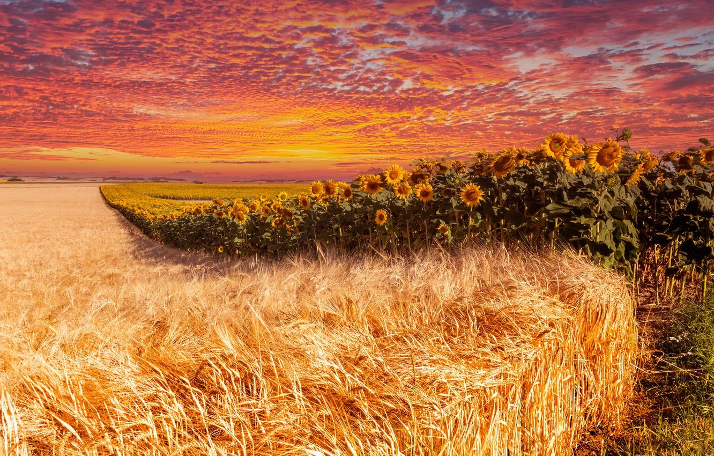 Фото обои поле, лето, небо, облака, линии, подсолнухи, закат, цветы, рожь, обработка, даль, горизонт, колосья, злаки, подсолнечник, …