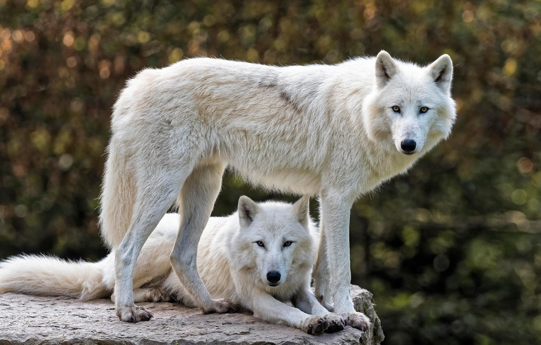 белые волки пара картинки далее комментарии эту
