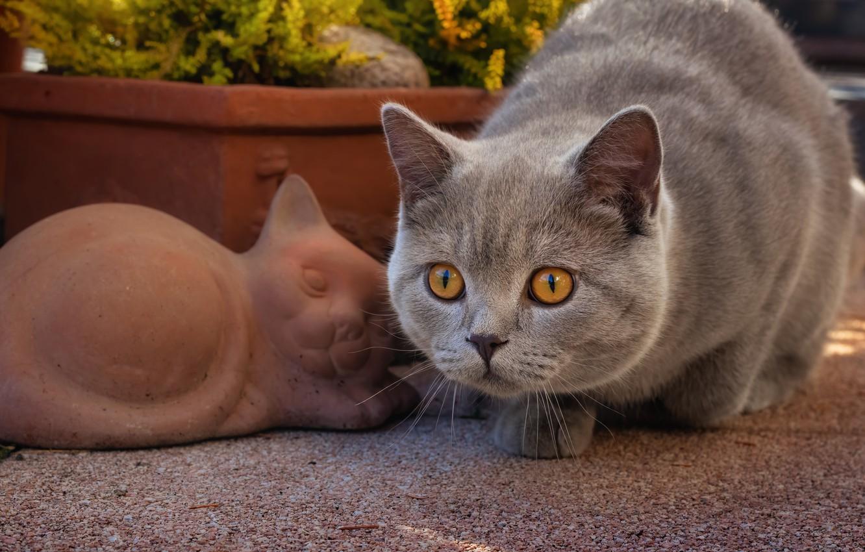 Фото обои кошка, взгляд, мордочка, Британская короткошёрстная кошка