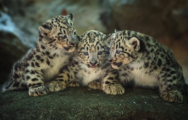 Фото обои котята, малыши, трио, леопарды, детёныши, троица