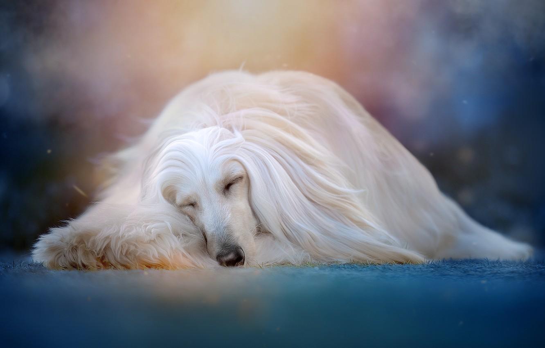 Фото обои животное, сон, собака, пёс, боке, Светлана Писарева