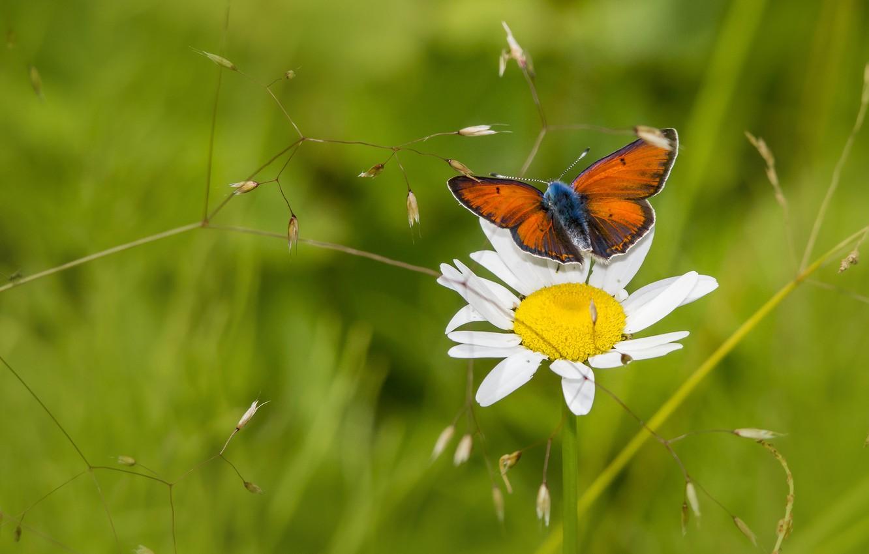 Фото обои цветок, лето, макро, бабочка, поляна, ромашка