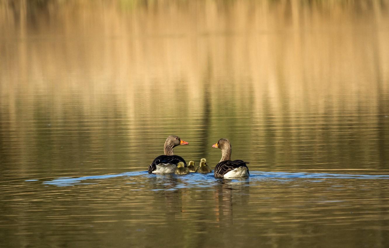 Фото обои вода, солнечный свет, гусята, серые гуси