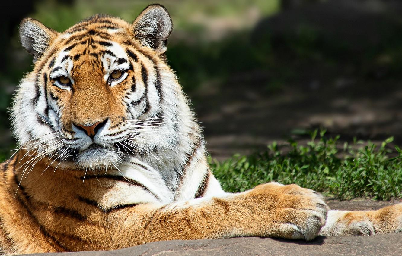 Фото обои tiger, animal, wild life