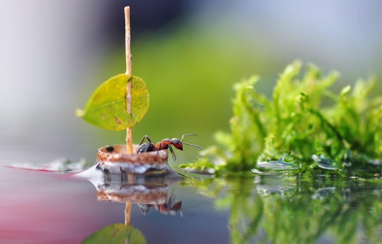 Фото обои вода, макро, природа, лист, отражение, парусник, муравей, парус, насекомое, кораблик