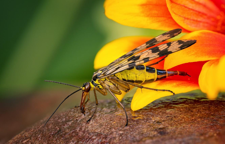 Фото обои животные, цветок, лето, макро, желтый, природа, насеокомое, Скорпионовая муха