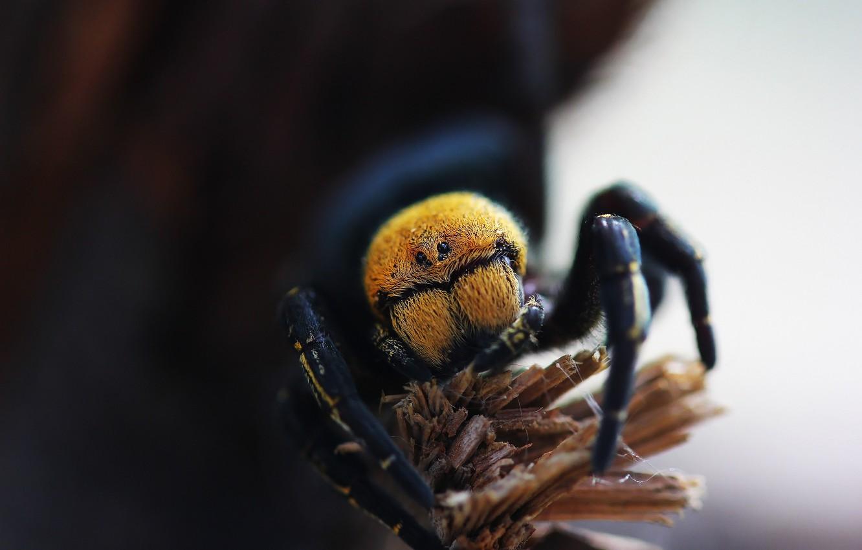 Фото обои макро, фон, паук, эрезус чёрный