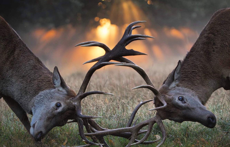 Фото обои животные, трава, солнце, лучи, свет, природа, пара, олени