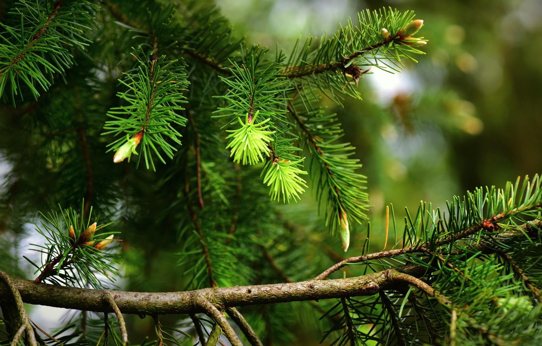 Фото обои зелень, иголки, ветки, природа, дерево, ель, весна, хвоя, почки, сосна, хвойные, еловые, сосновые