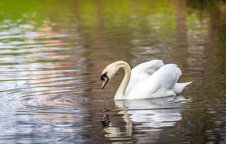 Фото обои озеро, птица, лебедь