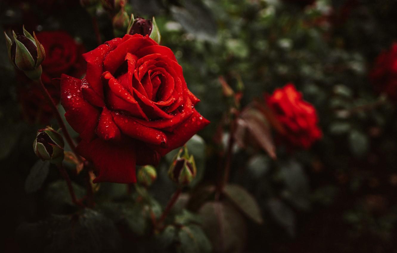 Фото обои листья, вода, капли, макро, цветы, природа, розы, бутоны