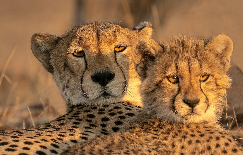Фото обои взгляд, детёныш, дикая кошка, морды, гепарды
