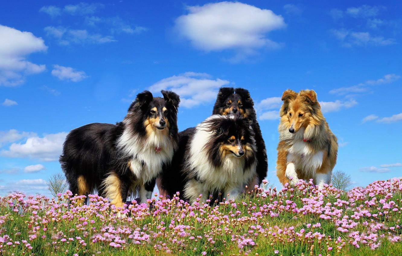 Обои собаки, люпины, цветы, Две собаки, луг. Собаки foto 10