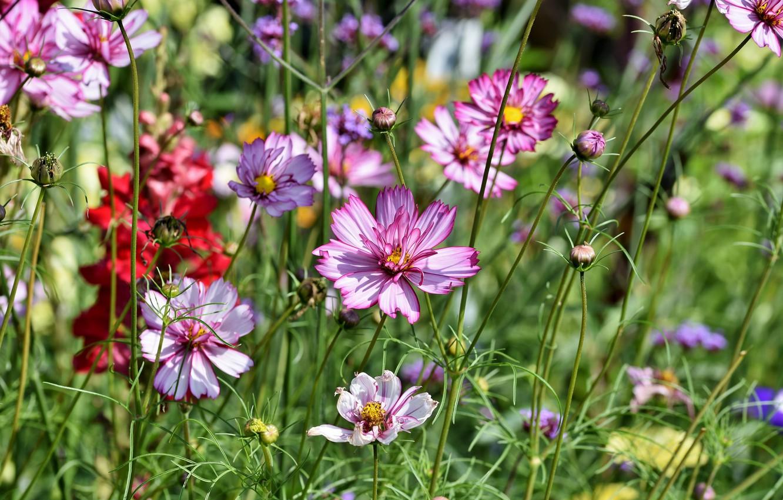 Фото обои лето, цветы, природа, луг, космея