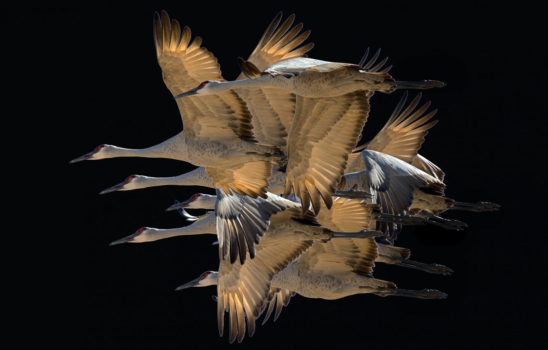 Фото обои полет, птицы, крылья, стая, миграция