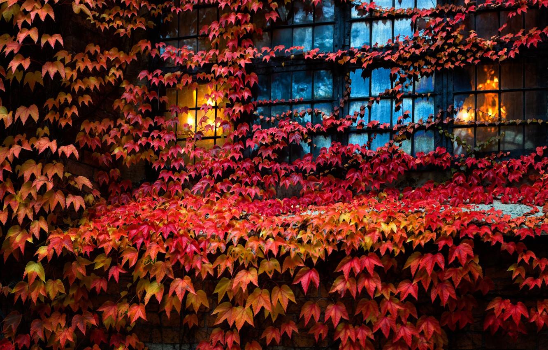 Фото обои листья, дом, окно, плющ