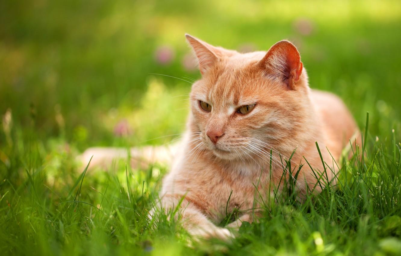 Фото обои зелень, кошка, лето, трава, кот, взгляд, поза, отдых, релакс, весна, рыжий, лежит, лужайка