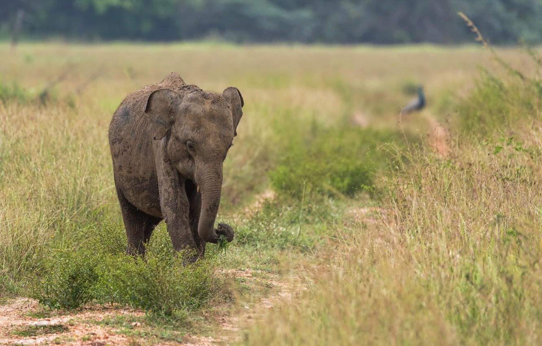 Фото обои природа, слон, Шри-Ланка