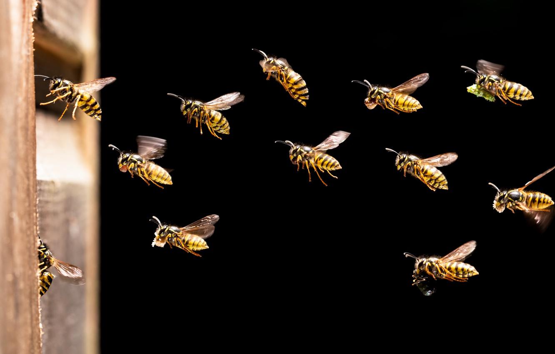 Фото обои насекомые, жалящие стебельчатобрюхие, Осы