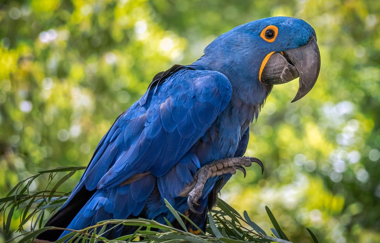 Фото обои птица, перья, клюв, попугай, гиацинтовый ара