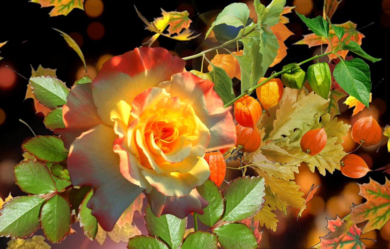Фото обои осень, роза, фИзалис