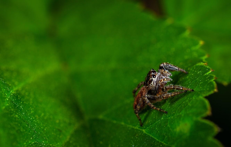 Обои насекомое, паук, лист. Макро foto 10