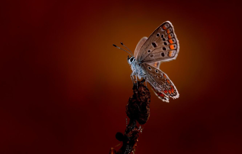 Фото обои макро, бабочка, butterfly