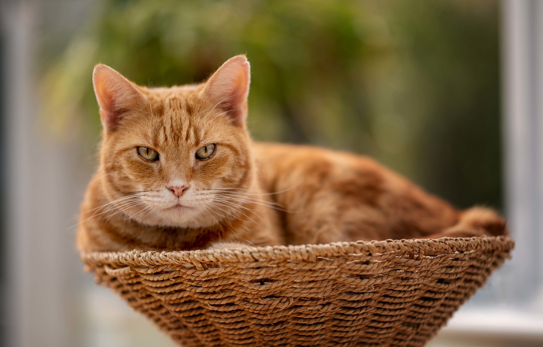 Фото обои кошка, кот, взгляд, рыжий, мордочка, корзинка, боке, котейка