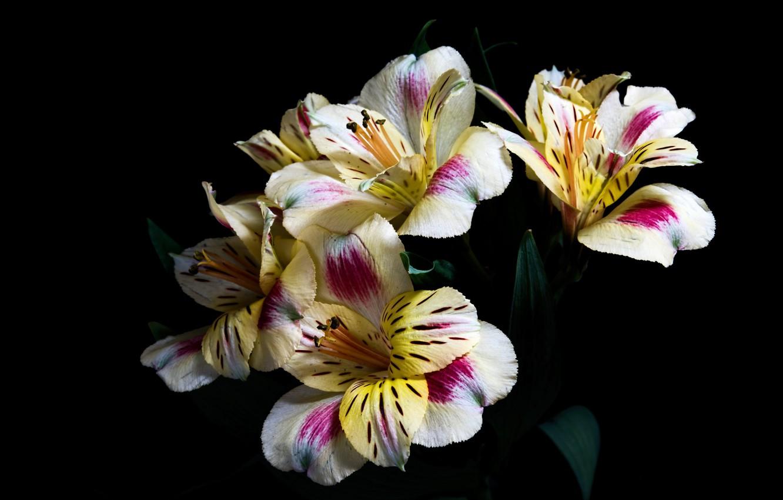 Фото обои цветы, тёмный фон, альстрёмерия