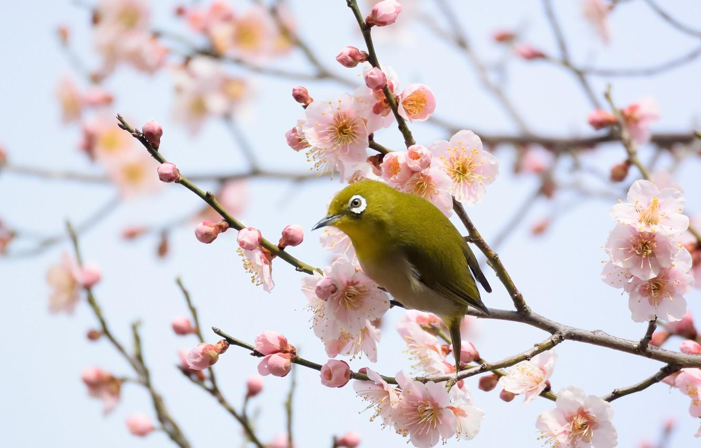 Фото обои цветы, ветки, птица, цветущее дерево, белоглазка