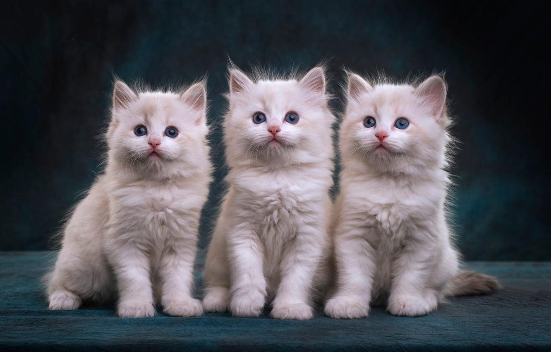 Обои взгляд, кошки, поза, котенок, серый, фон, вместе, черный.