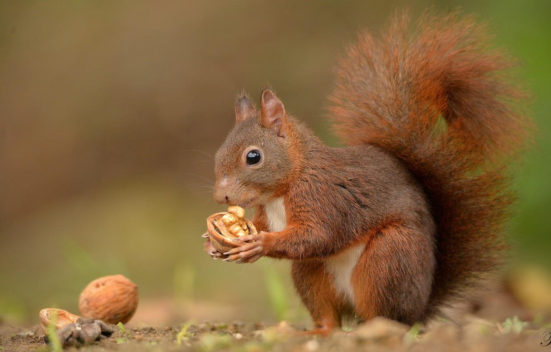 Фото обои орех, белка, хвост, рыжая