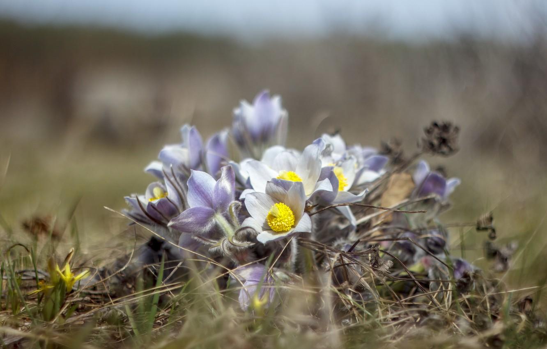 Фото обои трава, цветы, природа, весна, первоцветы, гелиос