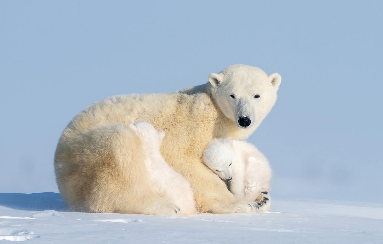 Фото обои медвежата, bear, медведица, Ursus maritimus, cubs, Hao Jiang